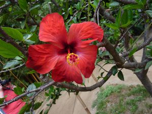 Hibiscus-Bambouseraie-juill2010.JPG