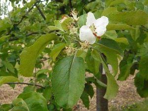 fleurs-de-pommier---reduc1.jpg