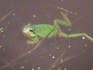 Rainette Loire-Atlantique Illustration alimentation grenouille salamandre crapaud