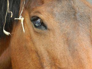 traumatisme guérit à l'oeil suite à un choc - cheval - Copyright : techniques d'élevage