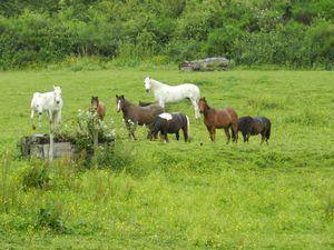 troupeau chevaux au pâturage - illustration anecdote - copyright : techniques d'élevage