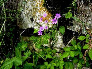 Geranium Pyrenaicum Angon 022