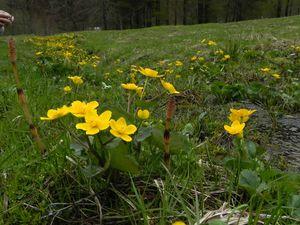 Ruisseau aux populages (Caltha palustris) Giettaz 031