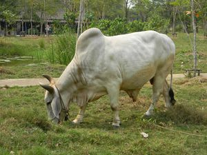 Thai cow in Muang Boran