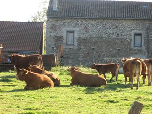 Vaches-a-Beauchalot-2011 4264