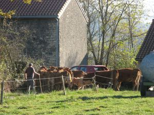 Vaches-a-Beauchalot-2011 4266
