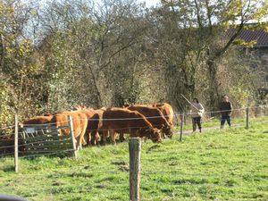 Vaches-a-Beauchalot-2011 4269