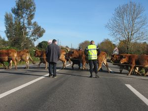 Vaches-a-Beauchalot-2011 4272