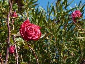 roses-du-jardin.JPG