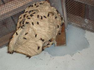 Gros nid de frelons Asiatiques dans un pigeonnier -copie-1
