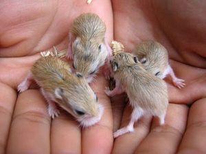 baby-hamsters.jpg