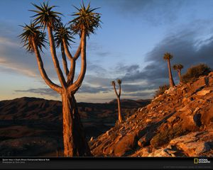 quiver-trees-south-africa-505183-xl.jpg