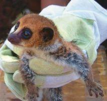 1-lemurien-nain.jpg