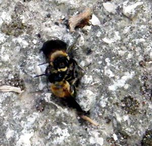megachile--sculturalis-accouplement.