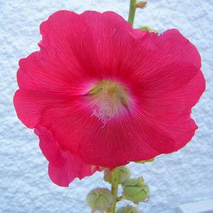 rose-tremiere-001.JPG