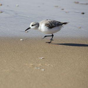 grande-plage-toussaint-oiseaux-041.JPG