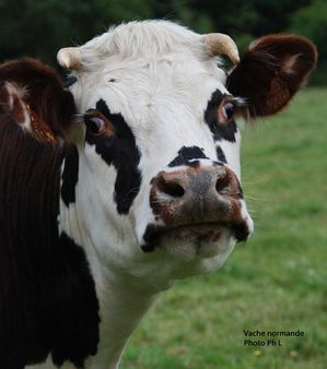 vaches-030