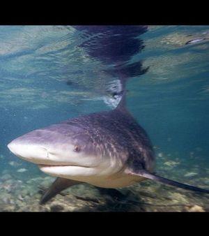 le-requin-bouledogue-ici-en-photo-et-le-requin-tigre-sont-l.jpg
