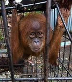 trafic-d-animaux-en-indonesie-ce-bebe-orang-outang-peut-etr.jpg