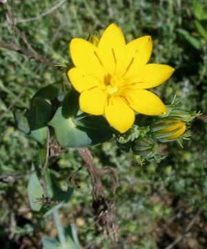 Blackstonia perfoliata perforée Albas Roque blanche mai14