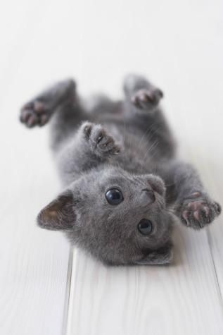 Tiny Russian Blue Kitten