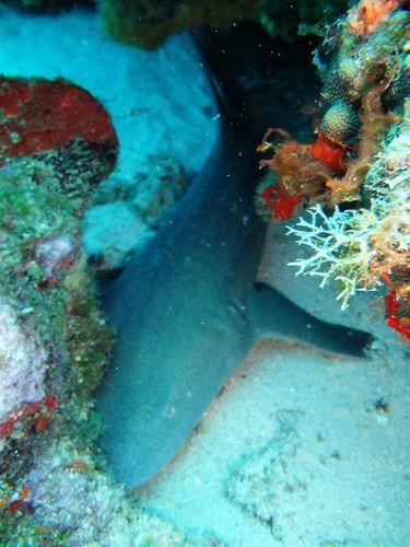 2011 06 02 Requin dormeur