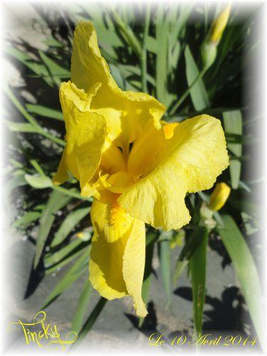 Iris-Jaunes-Le-10-Avril-2014-046.jpg