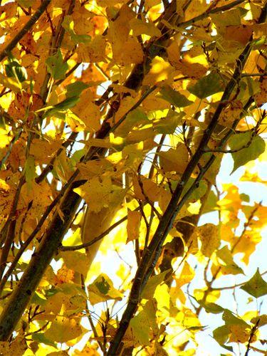 Peuplier à l'automne 1