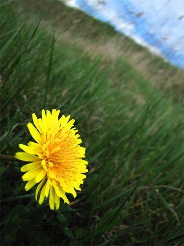 Fleur-de-pissenlit.jpg