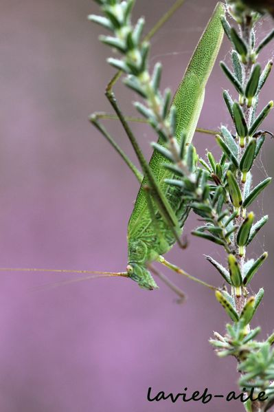 phaneroptera-falcata 3071c