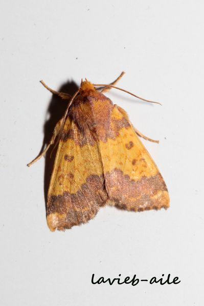 tiliacea-aurago-xanthie-doree 2030cc