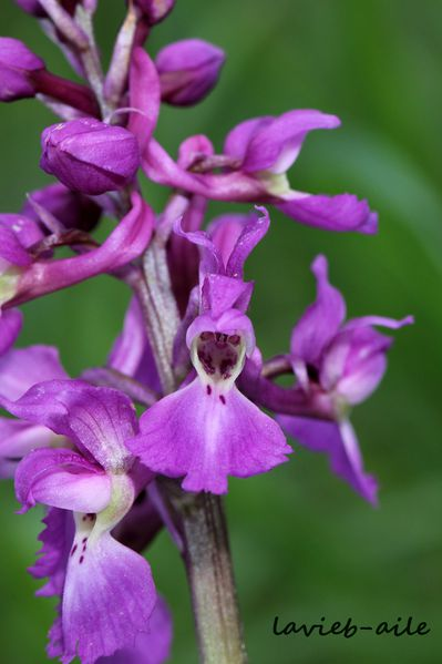 orchis-mascula 3981c