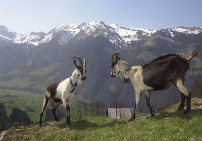 chèvre Paon - Prospecierara PG Waser