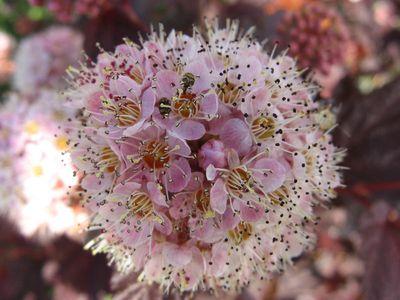 fleur-physocarpus
