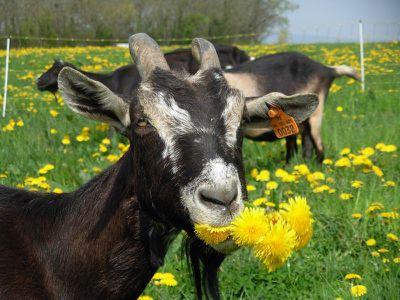 chèvre des Savoie photo C. Berthet