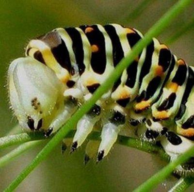 ocelles-plaque-epicraniale-chenille-Papilio-machaon