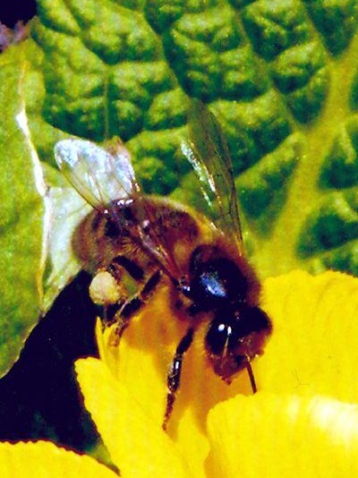abeille sur jonquille