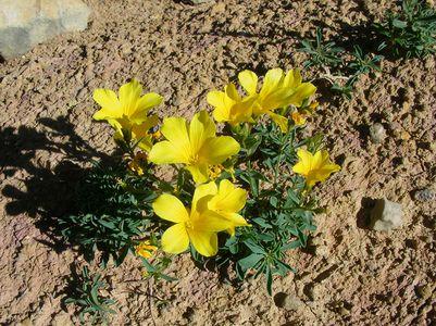 lin campanule linum campanulatum Albas Roque blanche mai14