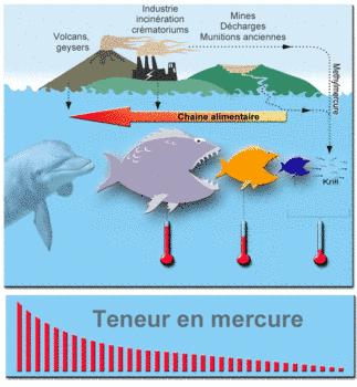 RTEmagicC MercuryFoodChainMercureBioconcentration-frFL txda