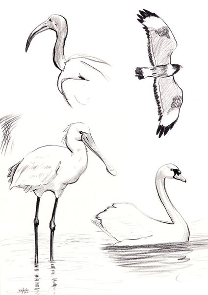 dessins_oiseaux_florence_dellerie
