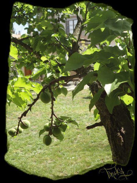 Glycine-LILAS-MUGUETS-PLANTS-DE-TOMATE-Rainette.et-copie-18.jpg