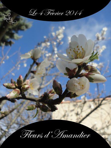 Fleurs-de-l-Amandier-le-4-Fevrier-2014-116.jpg
