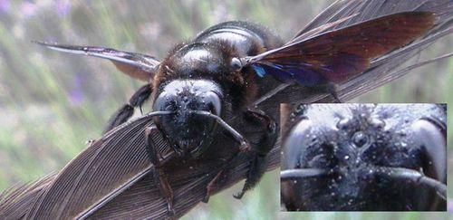 abeilles hommes ocelles abeille charpentière