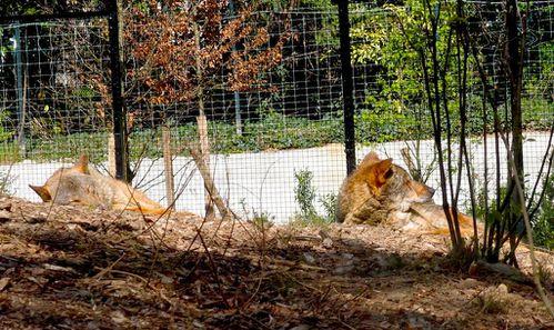 loups-parc-zoologique-vincennes-zoo.JPG