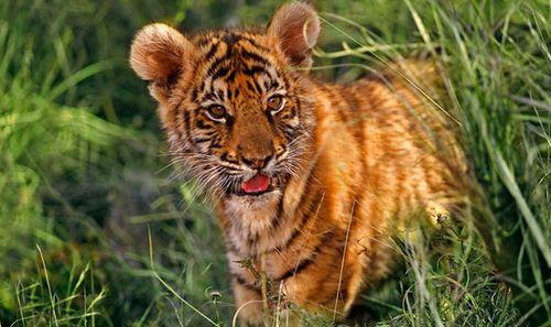 tigre-bebe.jpg