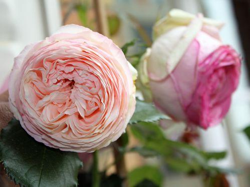 Gabistella-rose-2.jpg
