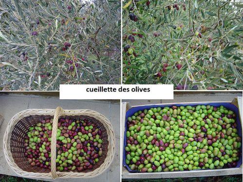 cueillette-des-olives.jpg