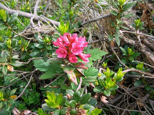 Rhododendron_Rhododendron-ferrugineum-juin14_Les-Angles.JPG