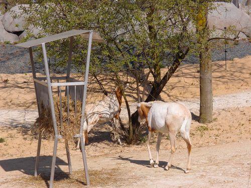 oryx-parc-zoologique-vincennes-zoo.JPG
