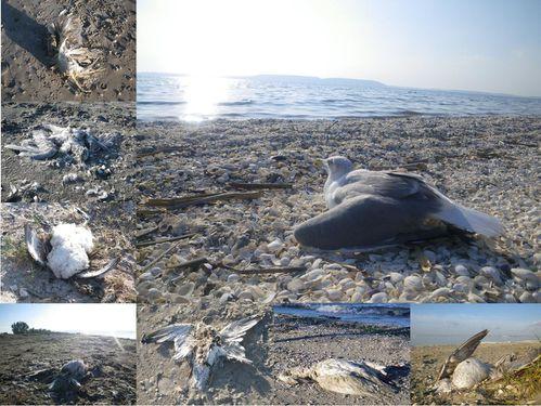 oiseaux morts 2011 plage du Jaï